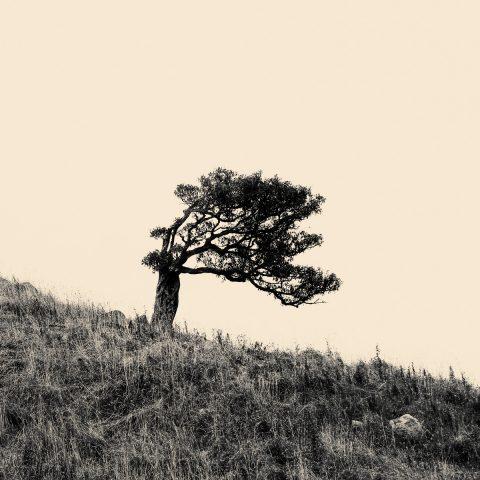 Lone Tree - Karitane